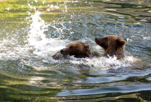 bern bears swimming