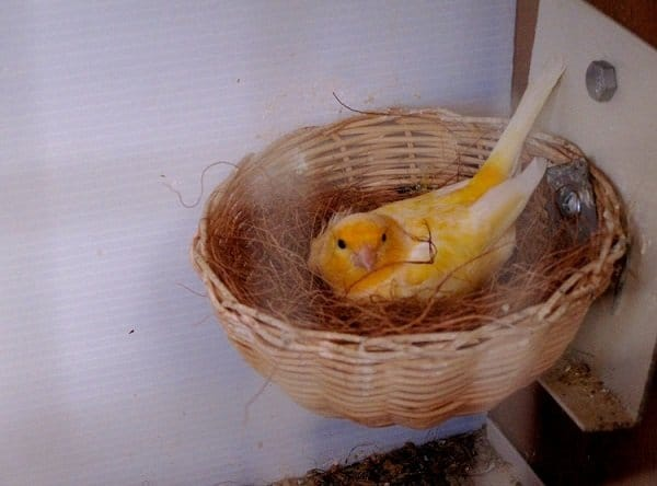 mother canary