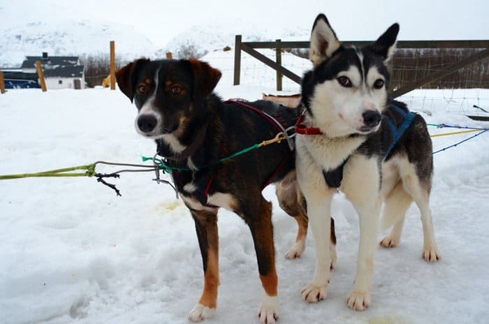 husky dogs sledding