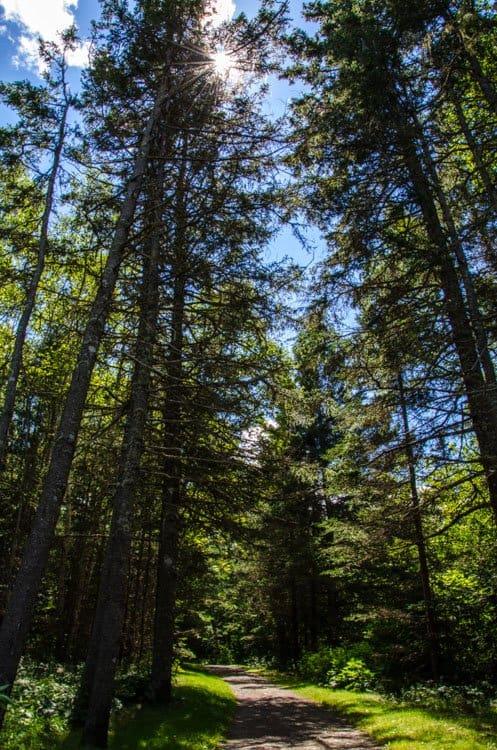 trees maine
