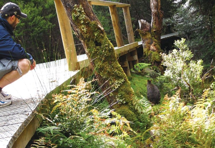 pademelon cradle mountain
