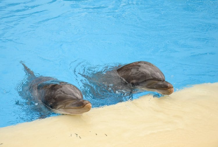 the mirage dolphins