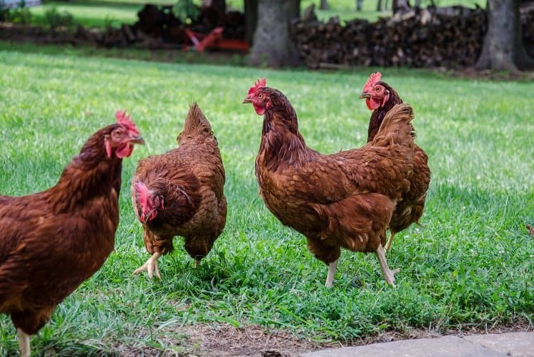 new jersey chickens